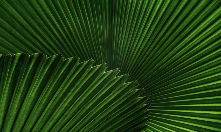 Palm-Blatt